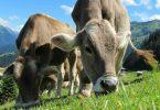 cows-looking-forward